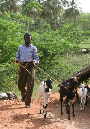 Picture of a man in India walking along a path with two goats who are on rope leads.